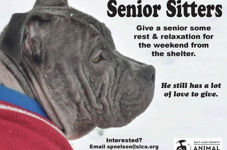 senior gray pit mix on poster for adoptions in salt lake city