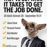 chihuahua on adoption ad in business suit for san diego humane