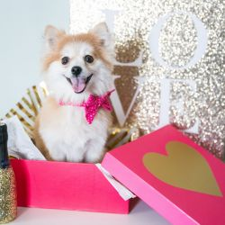 small white dog smiling in pink gift box