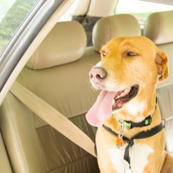 blond dog in car waiting for spay appointment with tongue out
