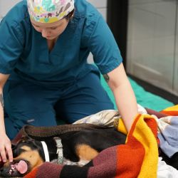 woman in scrubs tending to anesthetized dog