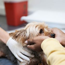 canine flu patient being examined