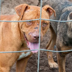 two dogs behind chicken wire in cruelty situation