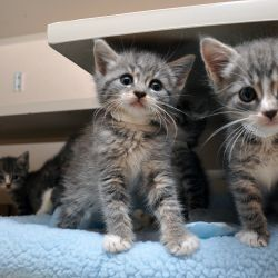 two grey and black kittens with smaller kitten in background