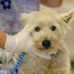 gloved hand holding face of white terrier type dog