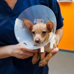 chihuahua dog wearing elizabethan collar after surgery