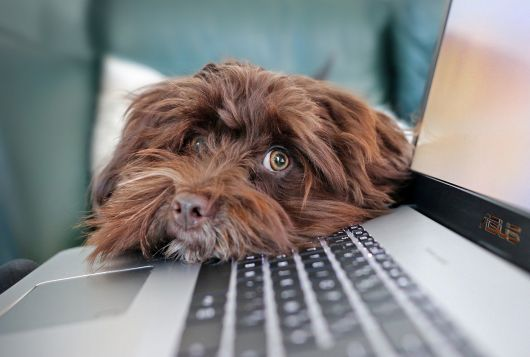 brown dog sitting at laptop