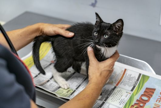 black and white kitten being examined
