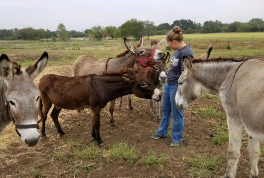 handler standing outside with donkeys