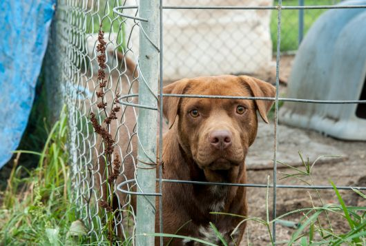 sad brown dog behind a fence
