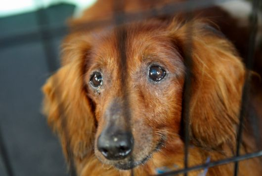 red dog looks sad inside cage after rescue