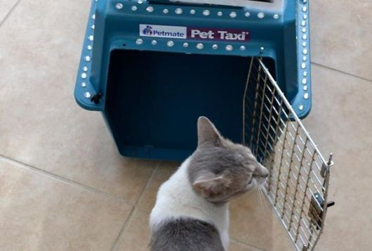 grey and white cat stands outside of cat carrier