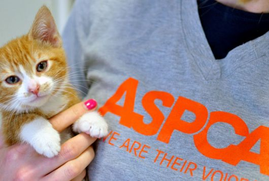 staff holding orange and white kitten