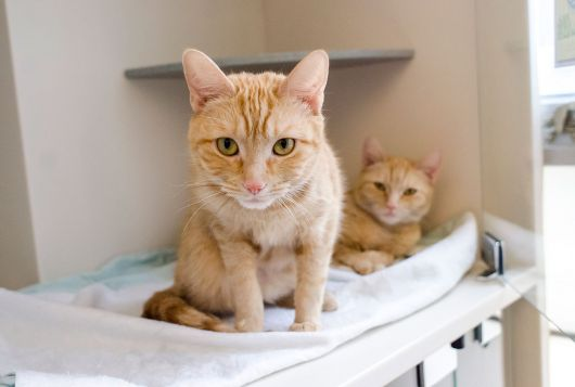 two blond cats in enclosure