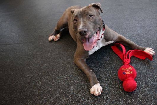large happy gray dog playing with toy on shelter floor