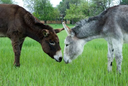 a dark brown donkey stands nose to nose in the grass with a gray donkey