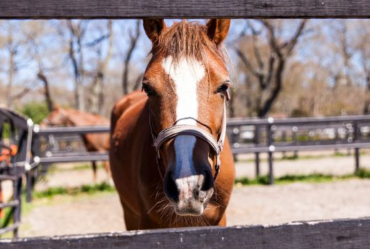 brown and white horse inside wooden fencing looking at camera