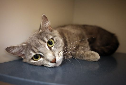 gray kitty lying in shelter cage looking at camera