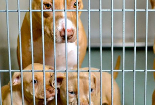 tan dog and puppies in cage
