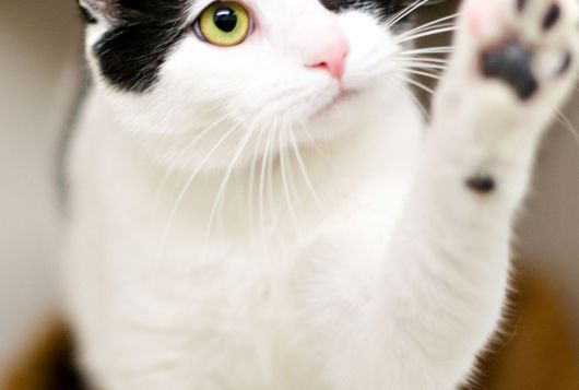 black and white cat paws at camera