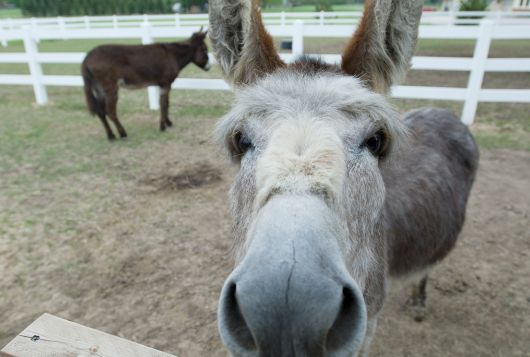 donkey at wooden fence with nose in camera