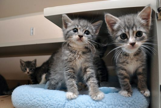 two tiny gray and white kittens with a third gray and white in kennel