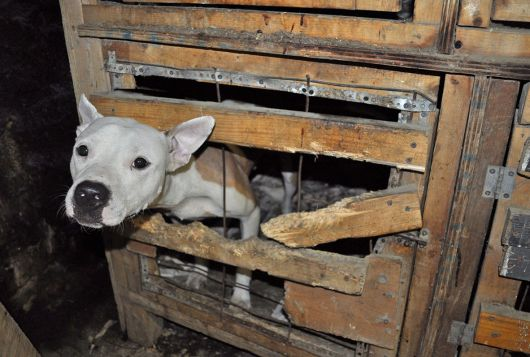 white pit mix dog looks out of wooden crate in cruelty case