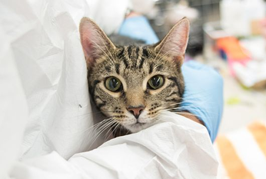 gray striped cat being held by medical professional in latex gloves