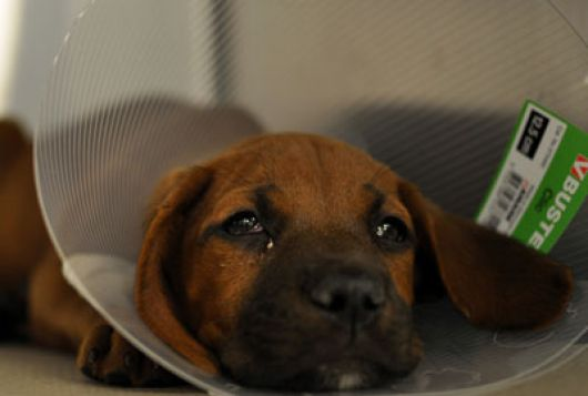 Sad puppy wearing elizabethan collar in cage
