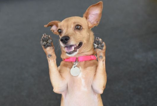 happy chihuahua mix stands on hind legs with front paws in the air