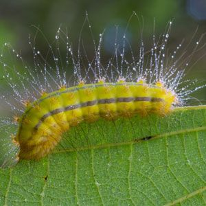Fuzzy Green Poisoners Caterpillar Toxicosis In Pets Aspcapro