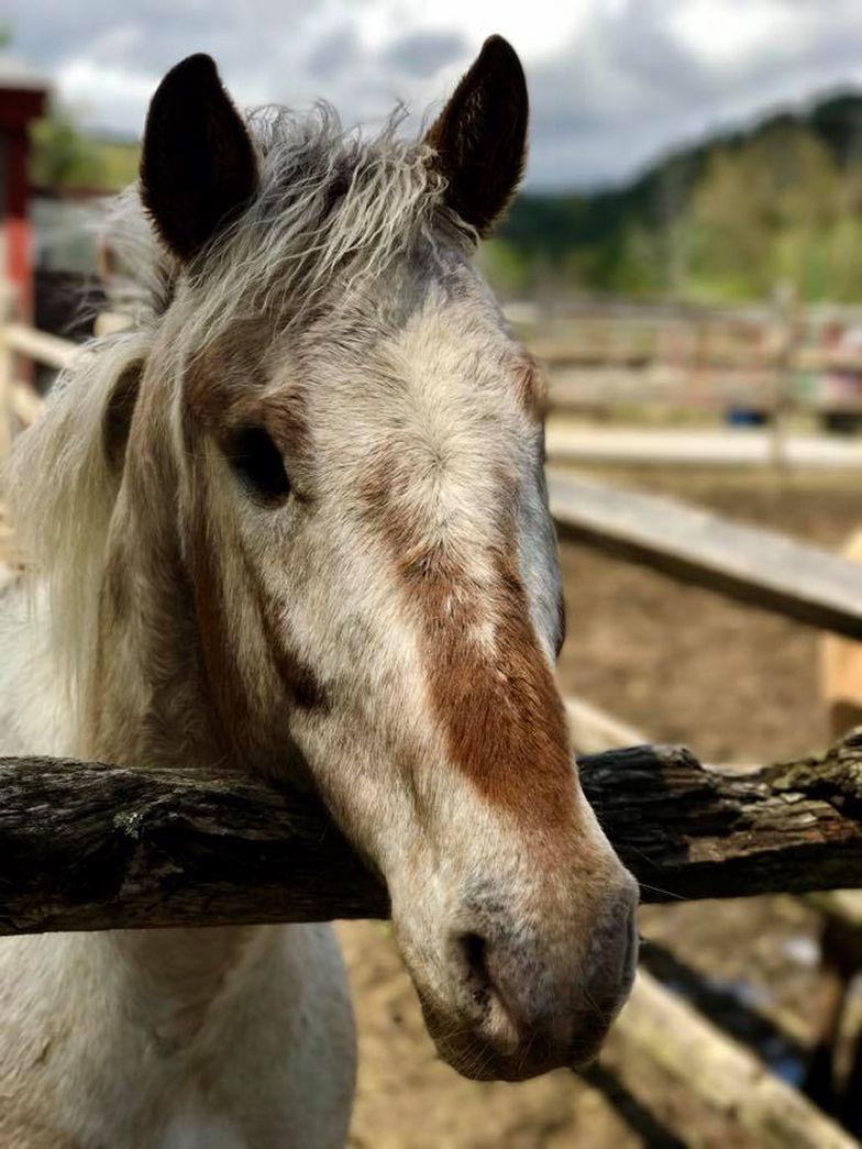 brown and white horse face at fence