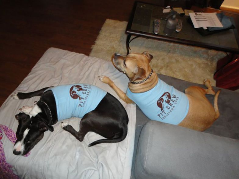 two pit mix dogs wearing blue logo tee shirts lying on dog beds