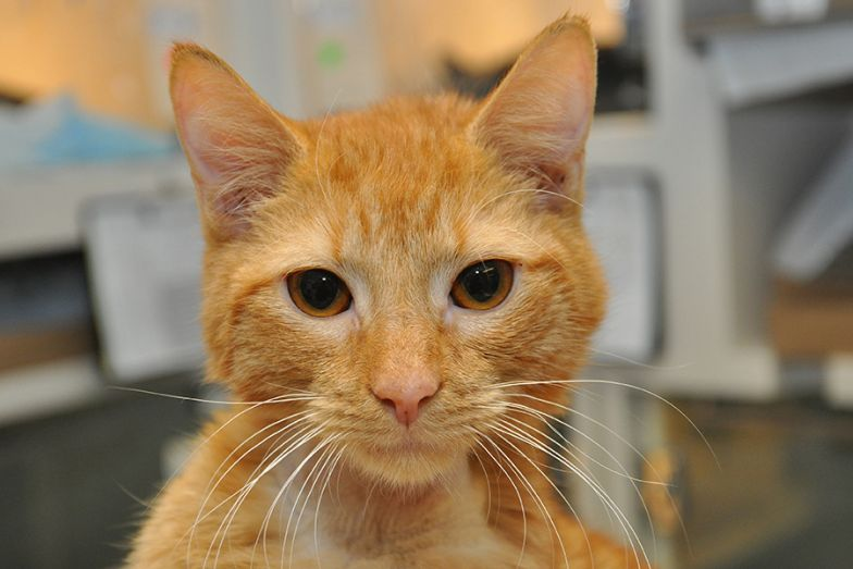 orange kitty in vet office looking at camera